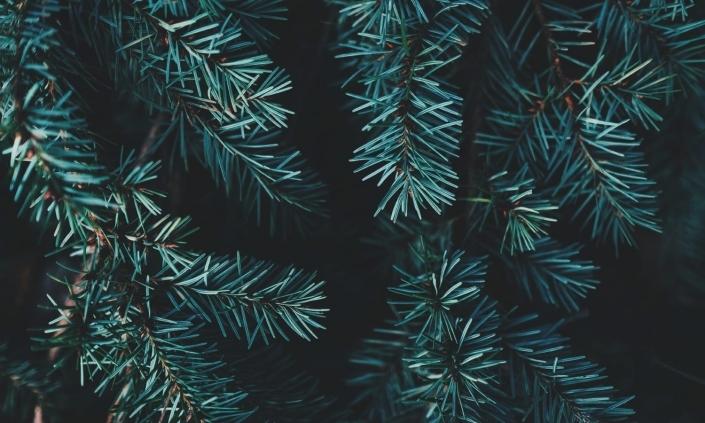 Photo branches sapin filtre bleuté